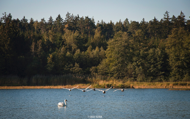 Labutí prelet nad jazerom.
