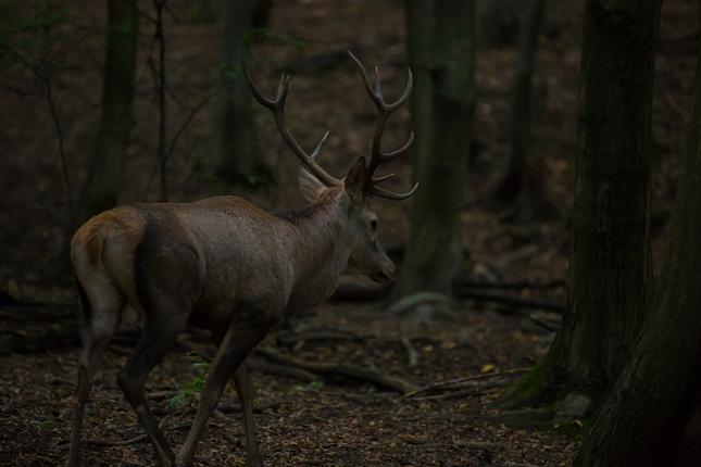 jeleň lesný