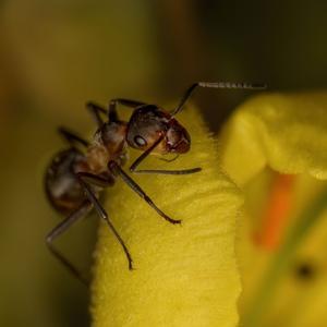 mravcok