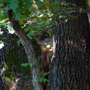 veverica 2