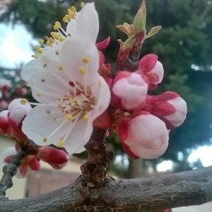 Kvet broskyne