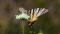 Augustový motýľ