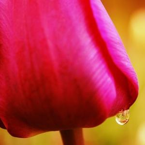 kvapka tulipánu
