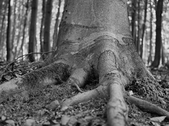 sila stromu
