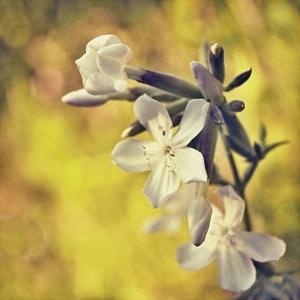 poľná kvetinka