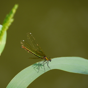 Zlatožltý krídelkatý