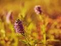 z lúky kvet
