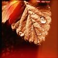 jahodový list