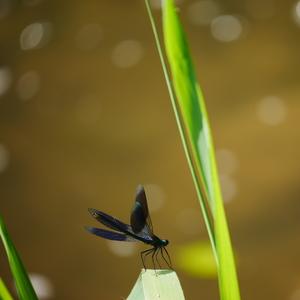 Krídlatý indigo kvietok