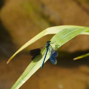 Krídla indigové