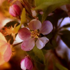 Lupienky jabloní