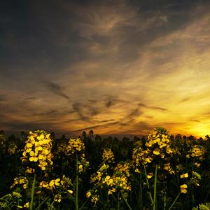Repka pri západe slnka