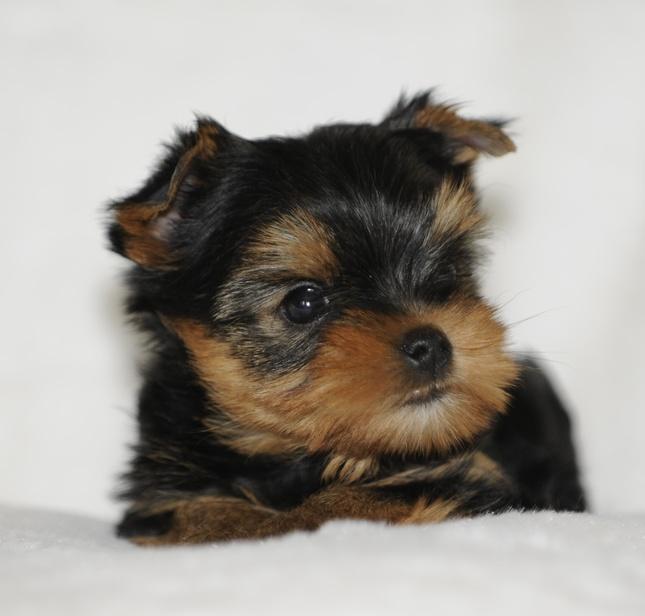 yorkshire terrier-charlotte 2