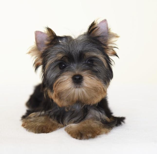 puppy york