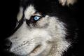 Black Background Equine Portrait (DOG)