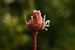 Zamrznutá ruža