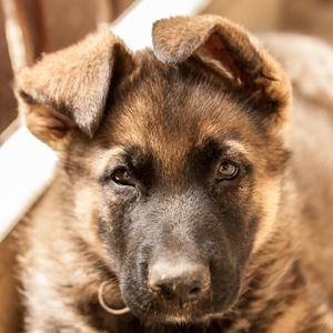 Mini Deutscher Schäferhund