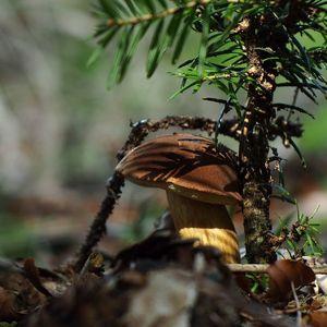 Suchohríb hnedý - podgrzybek