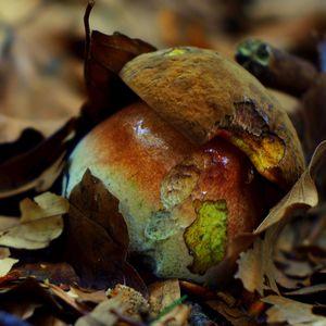 Zrnitohlúbikovy hríb - ceglaś