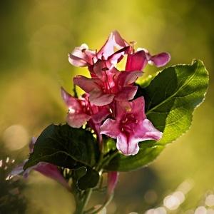 Weigelie růžová
