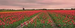 Moře tulipánů