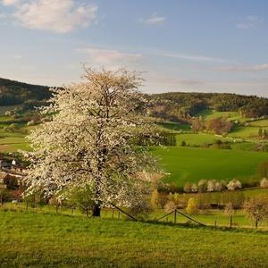 Když kvetly třešně