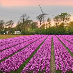 Ze země tulipánů