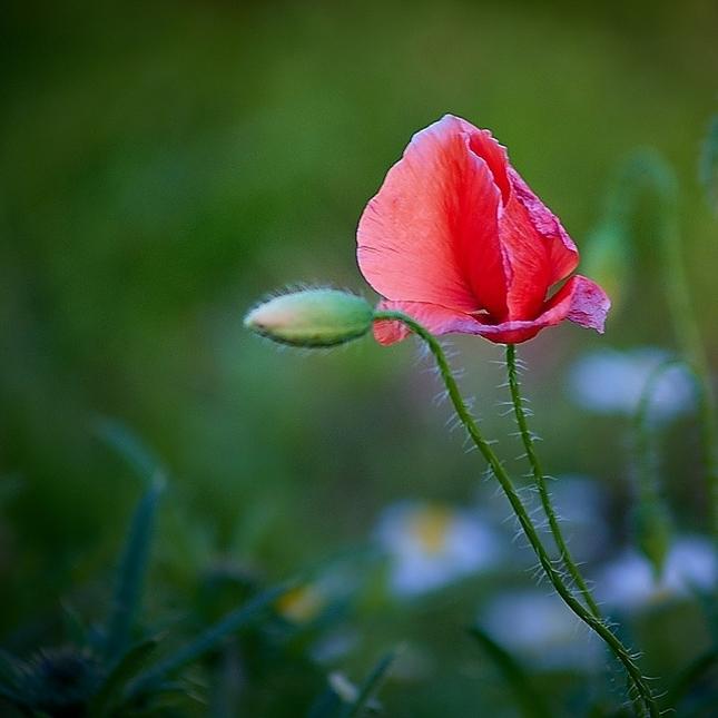 Už kvetou