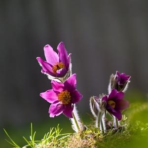 Těšení na jaro  (koniklec)