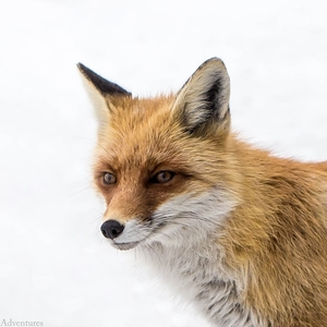 What Does The Fox Think About