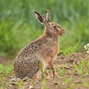 Zajac polny
