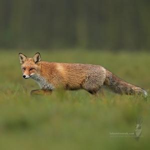 Líška hrdzavá