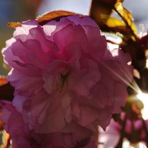 Sakura pri západe