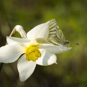 Motýlí pár