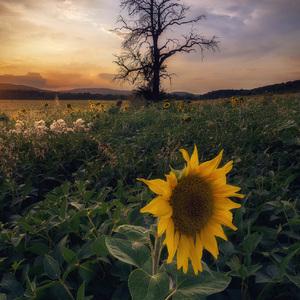 Osamelá slnečnica