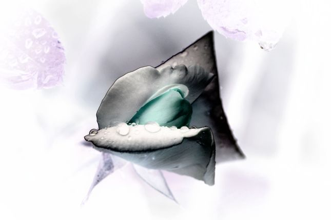 Ruža 3