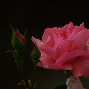 Ruža ružová