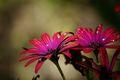 kvety záhrady