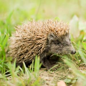 Malý ježko