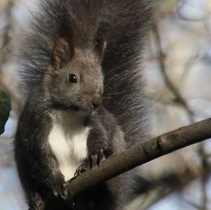 veverička II