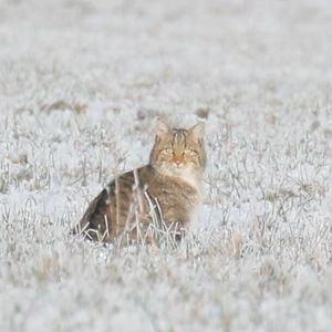 mačka poľná