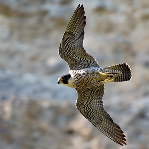 Falco peregrinus 3