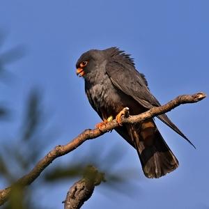 Falco vespertinus  2
