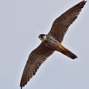 Falco subbuteo 2