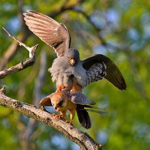 Falco vespertinus 3