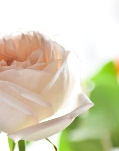 Ruža od muža