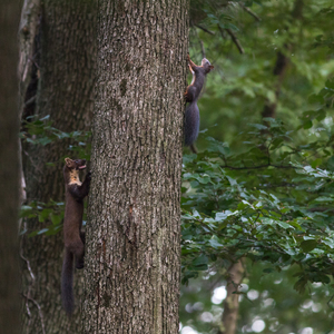 kuna vs. veverička