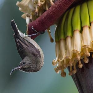 nektárovka na banánoch
