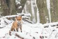 Líška v prvom snehu