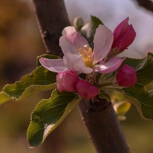 Jabloňový kvet